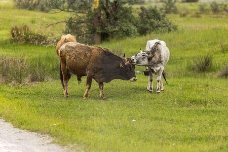 danube delta: Feral cows on Letea Marine Levee, Danube Delta