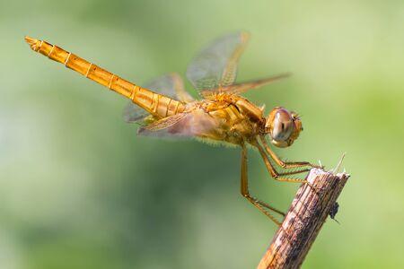 crocothemis: Crocothemis erythraea - Scarlet dragonfly, female