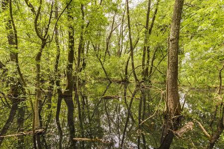 danube delta: Swamp in Letea Forest, Danube Delta