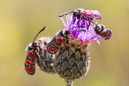 zygaena: Zygaena butterflies feeding on a flower Stock Photo