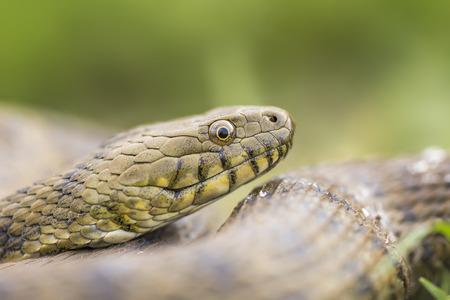 natrix: Portrait of a dice snake Natrix tessellata Stock Photo