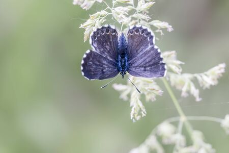 orion: Scolitantides orion - Chequered Blue Butterfly