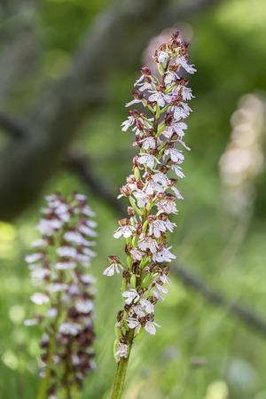 purpurea: Orchis purpurea - Lady Orchid