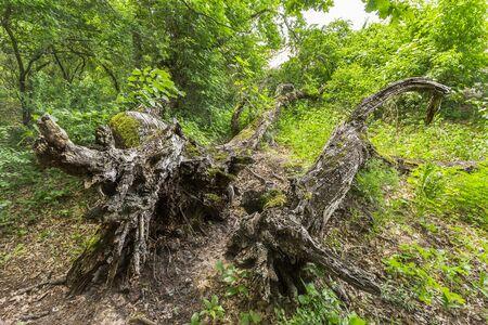 danube delta: Dead oaks in Letea Forest, Danube Delta