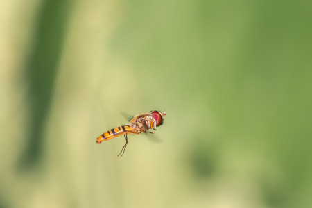arthropods: Small fly hovering in the wind
