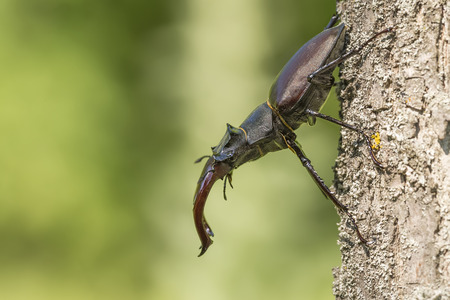 cervus: Portrait of a stag beetle Lucanus cervus Stock Photo