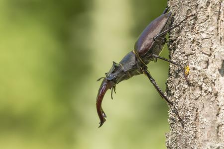 lucanus: Portrait of a stag beetle Lucanus cervus Stock Photo