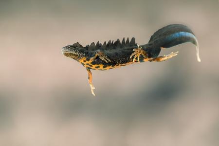 남성 위대한 볏이 newt (Triturus cristatus) 스톡 콘텐츠