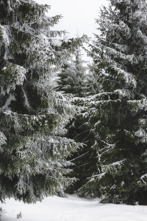 Heavy snow covering spruce trees in the Carpathians