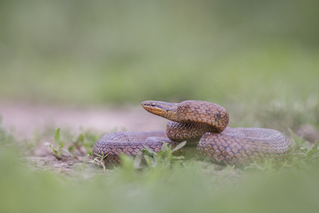 Close-up of a smooth snake (Coronella austriaca)