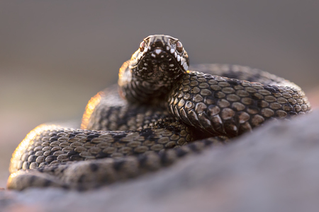 Common adder (Vipera berus) in defensive posture