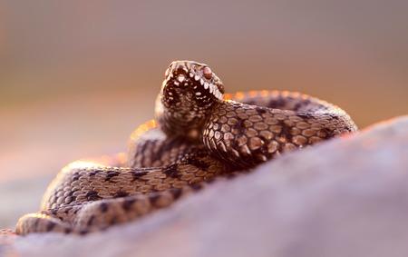 Common adder (Vipera berus) in defensive posture