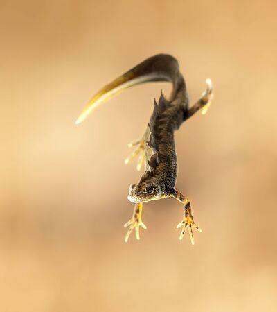 Male great crested newt (Triturus cristatus)