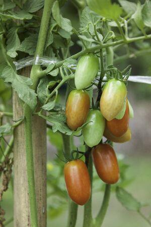 tomate de arbol: cherry tomatoes hanging on tree Foto de archivo