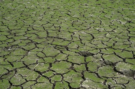land plant: green grass on cracked mud in the bottom of a river showing drought