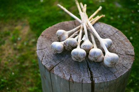 Fresh garlic on a wood and natural background. Farmer. Medicine and healthy. Traditional medicine.