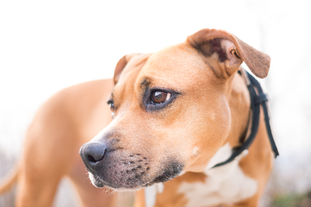 Young, beautiful, american staffordshire terrier with owner spend a day in the park and playing. Stock Photo