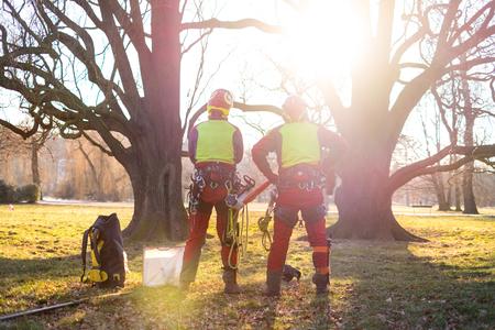 Deux hommes arboricoles debout contre deux grands arbres. Le travailleur avec casque travaillant en hauteur sur les arbres. Bûcheron travaillant avec une tronçonneuse pendant une belle journée ensoleillée. Arbre et nature Banque d'images
