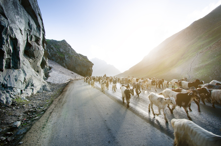 Himalayas nature and animals on the road. Indian mountains. Goats and sheep going a cross the road and cars waiting for them. Wilderness of India and concept of traveling in the mountains.