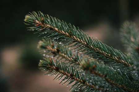Spruce and fir needles with a drop of water. Christmas tree plantation. Detail on spruce branch.