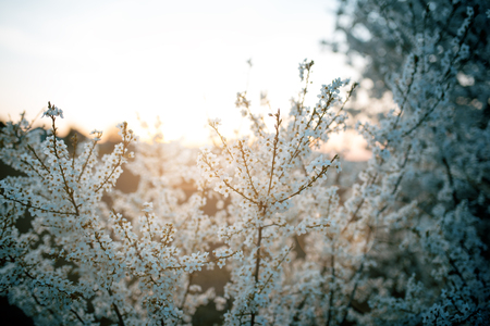 Beautiful plum blossom during a sunset. Spring time in the nature.