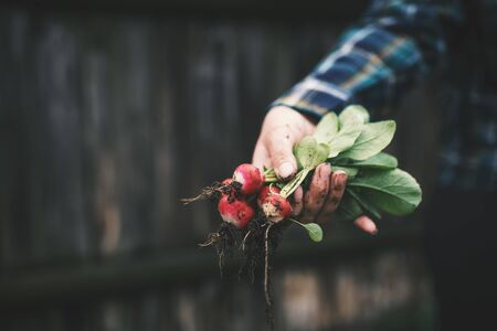 Hands holding fresh radish from small farm. Concept of agricultural. Young woman picking root vegetables. Фото со стока