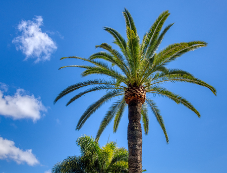 Tall Date palm trees against the blue sky and clouds on a sunny day