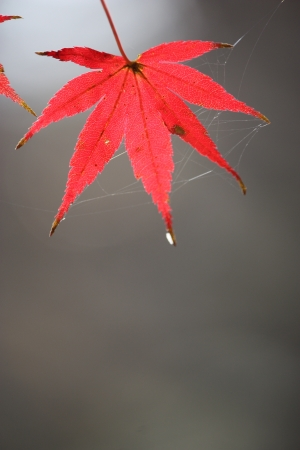 single red leaf Stock Photo - 24747572