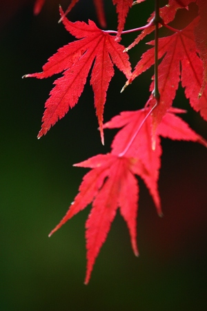 Red Maple in the park Stock Photo - 24747570