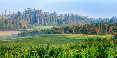 Landscape in Galicia with Corn and Eucalyptus Trees, Spain