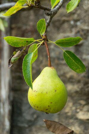 Pear Fruit, Alternative Gardening
