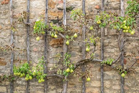 Pear Tree climbing old stone wall - Alternative Gardening
