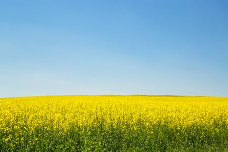 Blooming rapeseed field with blue sky
