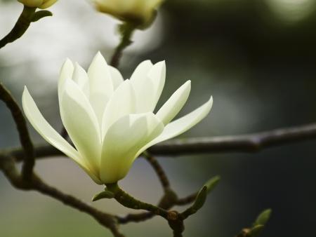White Magnolia photo
