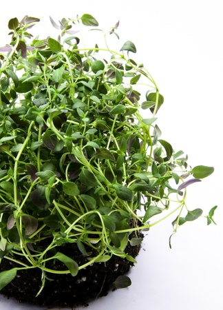 scented: scented thyme Stock Photo