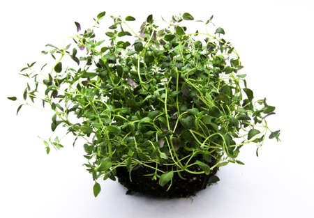 pervasive: scented thyme Stock Photo