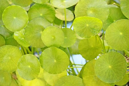 Lotus leaf Stock Photo - 12081037