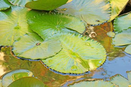 Lotus leaf Stock Photo - 12081031