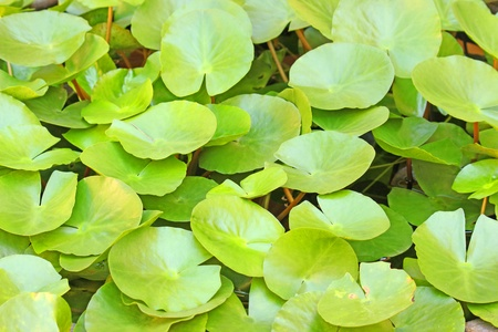 Lotus leaf Stock Photo - 12081024
