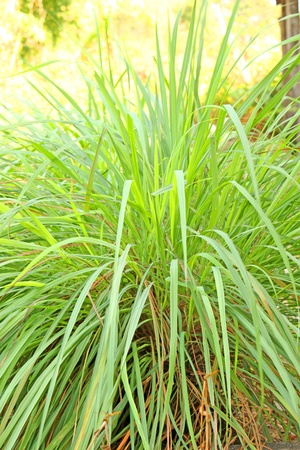 lightsome: Lemon grass
