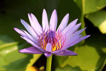 spiffy: Lotus