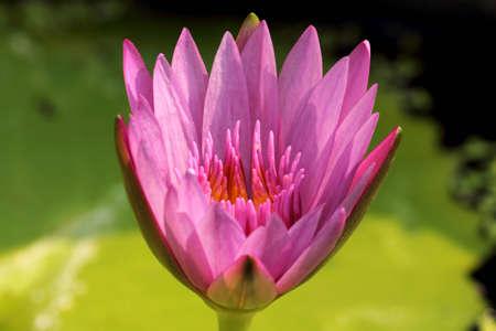 spiffy: Lotus blossom