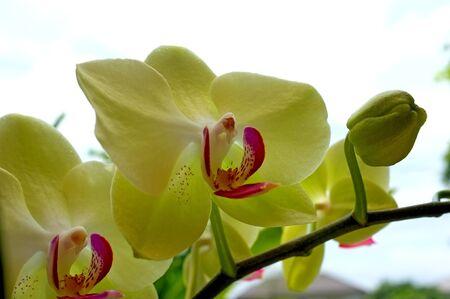 nifty: Gele Orchidee Stockfoto