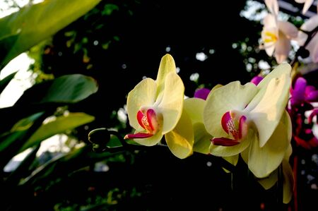Yellow Orchid Stock Photo - 13105030