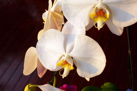 nifty: White Orchid