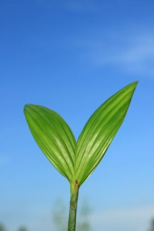 Coconut seedlings Stock Photo - 13250120
