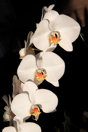 goodly: White Orchid