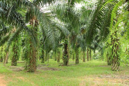 palm oil plantation: Palm tree