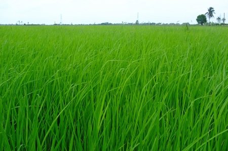 Rice seedlings  photo
