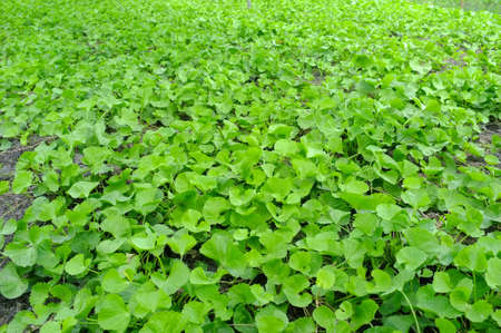 asiatic: Plant of asiatic  Stock Photo